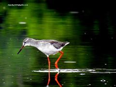 DSCN5106 Common Redshank (Tringa totanus) (vlupadya) Tags: greatnature animal aves fauna indianbirds common redshank tringa kundapura karnataka