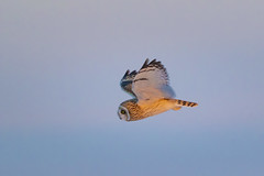 Last light (Peter Stahl Photography) Tags: shortearedowl owl hunting wildlife winter snow