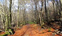 Killiecrankie (Graham`s pics) Tags: killiecrankie tree leaves colour colourful path pathway scotland wood trail walk walking woodlandwalk