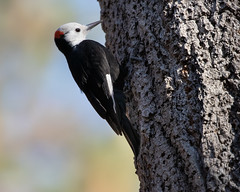 White-headed Woodpecker 1807 (maguire33@verizon.net) Tags: angelesnationalforest chilaovisitorcenter whiteheadedwoodpecker bird male woodpecker palmdale california unitedstates us