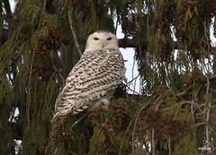 Snowy Owl (miketabak) Tags: