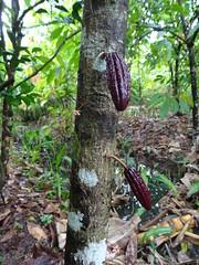 Cacao fruit - Muoi Coung Cocoa Farm