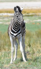 Zebra (anacm.silva) Tags: zebra zebras wild wildlife nature natureza naturaleza africa namibia etosha mammal mamífero áfrica namíbia etoshanationalpark coth coth5