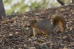 Fox Squirrel (Laura Erickson) Tags: lakemerritt california animals alamedacounty rodents mammals places foxsquirrel
