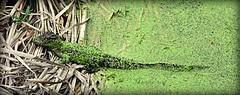 Camouflage (gatorgalpics) Tags: juvenilealligator sweetwaterwetlandspark explore 175