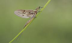 Mayfly (Ephemera vulgata). (Bob Eade) Tags: mayfly ephemeradanica ephemera ephemeroptera rivercuckmere riverlife insect spring eastsussex sussex wildlife nature macro bokeh fauna