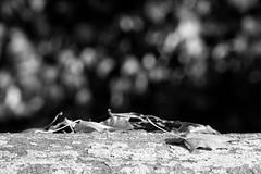 Autumn Scenes in Black and White (MarkusR.) Tags: d722746sw mrieder markusrieder stuttgart germany wilhelma zoologischergarten zoo park botanischergarten zoologicalgarden botanicalgarden nikon d7200 nikond7200 herbst fall autumn leaves blätter bw sw monochrome