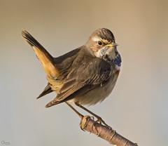 Ruiseñor pechiazul (Antonio Lorenzo Terrés) Tags: ruiseñor pechiazul ave bird pájaro parque natural nature fauna naturaleza