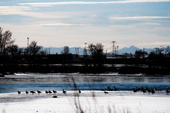 The Geese and The Mountains (dan.clayton) Tags: inglewoodbirdsanctuary baldeagle canadagoose canada calgary bowriver