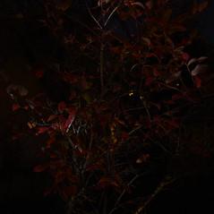 Light Painting (rq uk) Tags: rquk nikon d750 nikond750 afsnikkor1835mmf3545ged 52weekschallenge2018 lightpainting bush blueberry week45201852weeksin2018weekstartingmondaynovember052018