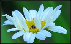 IMG_8266 Just Vants to Be Left Alone 7-5-18 (arkansas traveler) Tags: ladybug yellow bichos bugs insects flowers daisy shastadaisy bokeh bokehlicious nature naturewatcher natureartphotography zoom telephoto