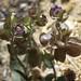 three hearts, Tricardia watsonii