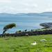 More Sheep. On the Coast. Wild Atlantic Cycling Tour Day 3