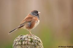 Dark-eyed Junco (Junco hyemalis oreganus) (bcbirdergirl) Tags: beautyinthecommon oregonjunco darkeyedjunco oregon juncosrule junco juncos yardbird yardbirding juncohyemalis juncohyemalisoreganus sparrow passerine