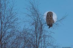 Lapinpöllö (mattisj) Tags: tree birch branch greatgreyowl strixnebulosa moon kuu lapinpöllö lappuggla hunt evening nebulosa bird yellow eyes dark