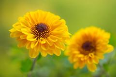 chrysanthemum 3737 (junjiaoyama) Tags: japan flower plant chrysanthemum mum yellow autumn fall macro bokeh