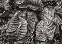 leathery leaves (gnarlydog) Tags: australia leaves detail closeup adaptedlens refittedlens nature forest manualfocus vintagelens fzuiko32mmf17 monochrome blackandwhite bw texture 3d