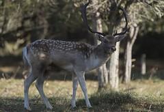 D81_13916 (charlesvanlangeveld) Tags: thenetherlands damadama amsterdamsewaterleidingduinen awd duinen fallowdeer animal stag grass mammal tree dear