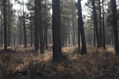 Sisters (Tony Pulokas) Tags: sisters oregon forest tree pine ponderosapine blur tilt bokeh purshia antelopebitterbrush bitterbrush antelopebrush buckbrush autumn fall rain grass