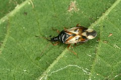 Anthocoris nemorum (Linnaeus 1761) = Cimex nemorum Linnaeus, 1761. (chug14) Tags: