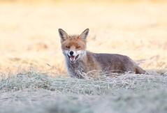 Encounters on a Summers evening (Alan McCluskie) Tags: fox redfox mammal meadow summer animal canon7dmk2 ruralfox sigma150600mmsp ukwildlife