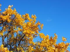 sárga-kék / yellow and blue (debreczeniemoke) Tags: ősz autumn erdő forest wood fa tree sárga yellow ég sky kék blue olympusem5