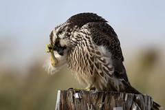 _D2_6732.jpg (rdelonga) Tags: juvenileperegrinefalcon falcoperegrinus