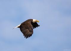 Eagle in Flight (swmartz) Tags: outdoors wildlife birds eagle conowingo maryland nikon nature november 2018 200500mm