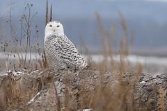 Snowy Owl (Rob E Twoo) Tags: