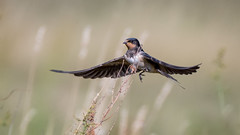 Barn swallow (JS_71) Tags: nature wildlife nikon photography outdoor 500mm bird new see natur pose moment outside animal flickr colour poland sunshine beak feather nikkor d7500 wildbirds