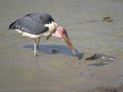 The Fish-Keeper  ( Marabou Stork /  Maraboe ) (Pixi2011) Tags: krugernationalpark birds southafrica africa nature