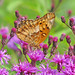12 Days of Christmas Butterflies - #4 Variegated Fritillary in purple ironweed