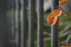 Fall II (vanessa violet) Tags: fence happyfencefriday friday hff fall nature autumn leaf leaves orange tree bush