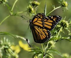 MonarchButterfly_SAF8617 (sara97) Tags: danausplexippus butterfly copyright©2018saraannefinke insect missouri monarch monarchbutterfly nature photobysaraannefinke pollinator saintlouis inflight flight