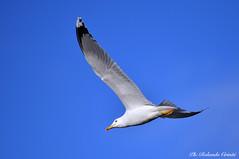 Gabbiano _064 (Rolando CRINITI) Tags: gabbiano gabbianoreale uccelli uccello birds ornitologia avifauna genovapra genova natura