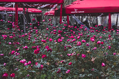 Rose bush Garden at Topkapi Palace.jpg (Ketan Pandit) Tags: culture asia travel shoots photography iphone architecture history canon europe turkey istanbul cats palace sultan bosporous tourist pandits istiklal