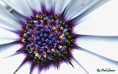 DSC_1495_00001 (Paolo Gennari) Tags: macro fiori