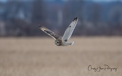 Short eared owl (Christy Hibsch ( Christy's Creations on Facebook )) Tags: livingstoncounty birds birdsinflight nature nationsrd newyork wny wildlife owl owls shortearedowl