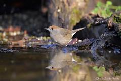 Capinera _005 (Rolando CRINITI) Tags: capinera uccelli uccello birds ornitologia avifauna castellettomerli natura