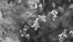 Summer leaves (Elisafox22) Tags: elisafox22 sony rx10m3 hmbt monochromebokehthursday leaves beech bright sunshine shadows branches tree monotone bw monochrome blackandwhite light bokeh dof patterns textures photoshop outdoors elisaliddell©2019