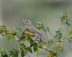 Bell's vireo (justkim1106) Tags: bellsvireo vireo songbird bird tinybird nature wildlife texasnature texasbird texaswildlife yellow bokeh naturebokeh