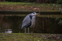 """Can I please borrow your jacket, sir? I'm freezing cold."" (Frederik0711) Tags: lightroom canonusers canon6d canon natureandnothingelse winter cold heron greyheron herons greyherons bird birds birdphotography nature naturephotography copenhagen københavn denmark danmark fugle fugl hejre frederiksberg frederiksberghave"