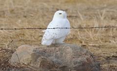 Snowy Owl  5200 (robenglish64) Tags: snowyowl