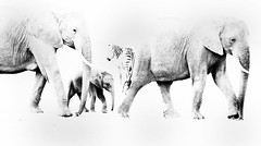 sur la piste des éléphants (emerveillees.com) Tags: kenya elephant elephants masai mara afrique animaux sauvages dessins