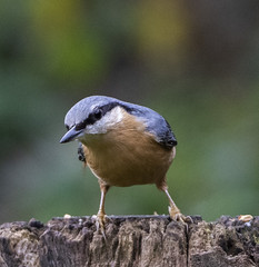 Nuthatch (11) (Mal.Durbin Photography) Tags: wildlifephotography maldurbin naturephotography wildbirds forestfarm nature naturereserve