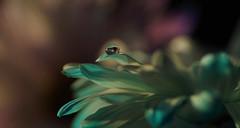 nov16 2018 4 (Delena Jane) Tags: delenajane dfo droplet daisy reflections macro newfoundland ngc canada closeup waterdroplet waterbead pentaxart