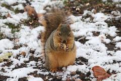 Fox Squirrels in Ann Arbor at the University of Michigan on a Snowy Day - November 16th, 2018 (cseeman) Tags: gobluesquirrels squirrels foxsquirrels easternfoxsquirrels michiganfoxsquirrels universityofmichiganfoxsquirrels annarbor michigan animal campus universityofmichigan umsquirrels11162018 fall autumn eating peanuts acorns novemberumsquirrel snow snowy