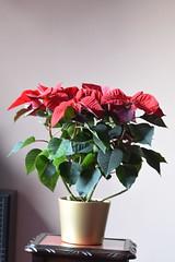 DSC_2261 Poinsettia (PeaTJay) Tags: nikond750 sigma reading lowerearley berkshire macro micro closeups gardens indoors nature flora fauna plants flowers poinsettia