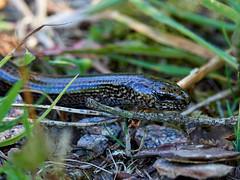 (macg33zr) Tags: kingairloch reptile slowworm