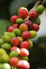Café (Guido De León) Tags: café guatemala